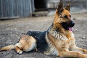 في سورية..استيراد ألف كلب سنوياً وتصدير 5 آلاف