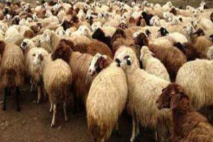 نحو 125 ألف خروف تم ذبحها خلال عيد الأضحى في دمشق فقط