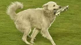 شاهد.. كلب يقتحم أرض الملعب ومعه حذاء خلال مباراة رسمية.. ولاعب يتعاطف معه