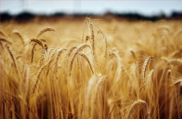 وزارة الزراعة: الانتهاء من زراعة 93 % من محصول القمح