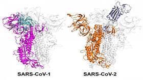 لماذا بعض سلالات فيروس كورونا أكثر عدوى من غيرها؟
