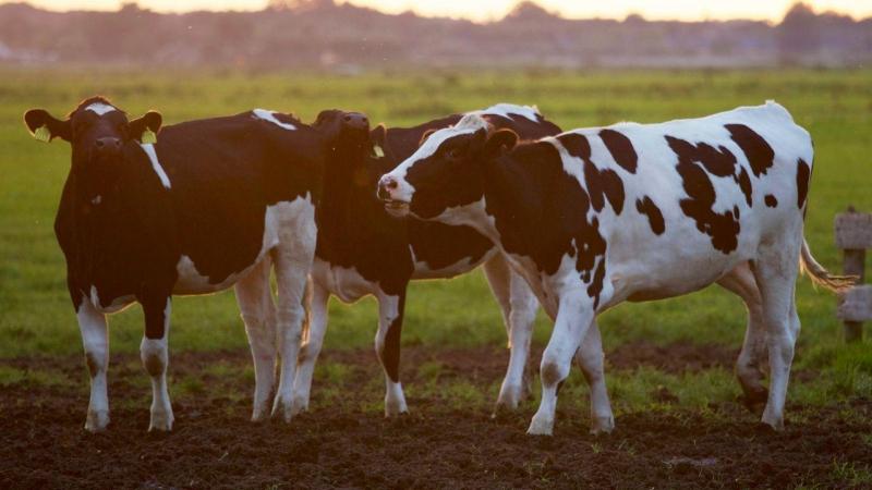 علماء ألمان ينجحون في تدريب الأبقار على استخدام دورات المياه
