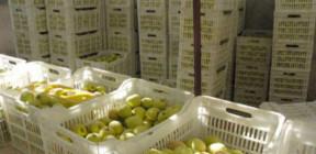 السويداء… تسويق 545 طنا من التفاح و2300 صفيحة زيت زيتون