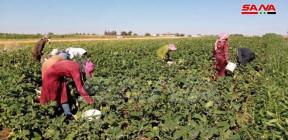 مزارعو الريف الشمالي بحمص يواصلون جني محصول الباذنجان وتقديرات  الانتاج تبلغ نحو 6350 طناً