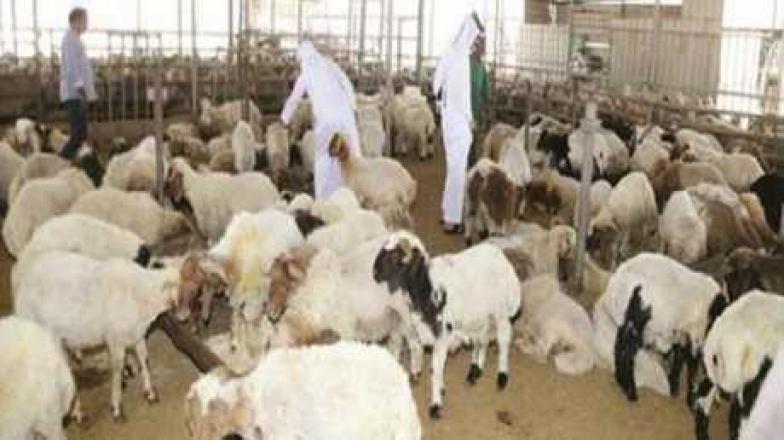 ألف خروف سوري أضاح للعيد في قطر