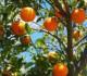 نحو 788 ألف طن إنتاج موسم الحمضيات الحالي